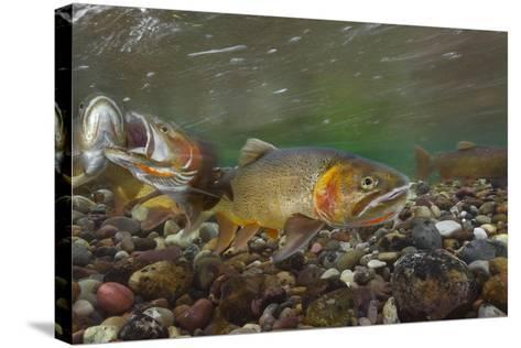 Cutthroat Trout Spawning in the Gros Ventre River-Charlie James-Stretched Canvas Print