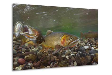 Cutthroat Trout Spawning in the Gros Ventre River-Charlie James-Metal Print