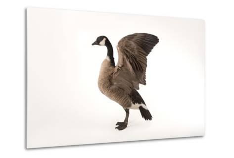 A Richardson's Cackling Goose, Branta Hutchinsii, at Sylvan Heights Bird Park-Joel Sartore-Metal Print