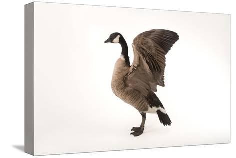 A Richardson's Cackling Goose, Branta Hutchinsii, at Sylvan Heights Bird Park-Joel Sartore-Stretched Canvas Print