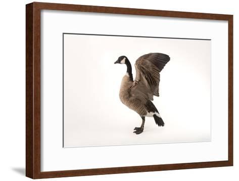 A Richardson's Cackling Goose, Branta Hutchinsii, at Sylvan Heights Bird Park-Joel Sartore-Framed Art Print