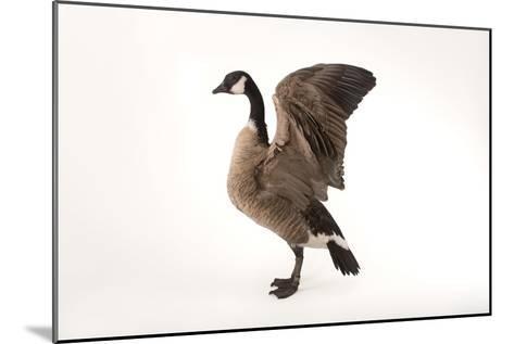 A Richardson's Cackling Goose, Branta Hutchinsii, at Sylvan Heights Bird Park-Joel Sartore-Mounted Photographic Print