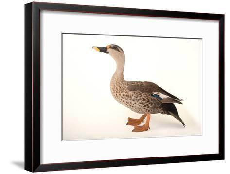 An Indian Spot Billed Duck, Anas Poecilorhyncha, at Sylvan Heights Bird Park-Joel Sartore-Framed Art Print