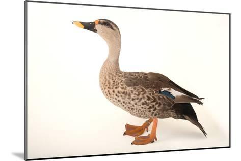 An Indian Spot Billed Duck, Anas Poecilorhyncha, at Sylvan Heights Bird Park-Joel Sartore-Mounted Photographic Print