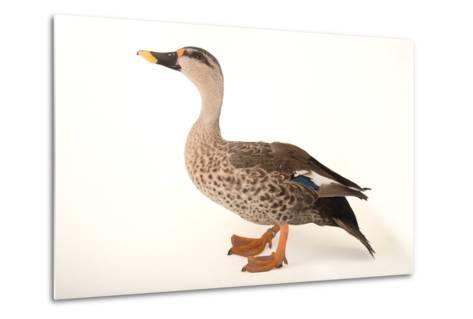 An Indian Spot Billed Duck, Anas Poecilorhyncha, at Sylvan Heights Bird Park-Joel Sartore-Metal Print