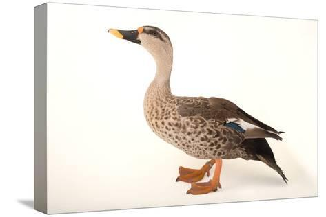 An Indian Spot Billed Duck, Anas Poecilorhyncha, at Sylvan Heights Bird Park-Joel Sartore-Stretched Canvas Print