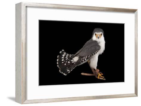 An African Pygmy Falcon, Polihierax Semitorquatus, at the Houston Zoo-Joel Sartore-Framed Art Print