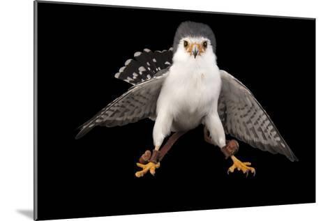 An African Pygmy Falcon, Polihierax Semitorquatus, at the Houston Zoo-Joel Sartore-Mounted Photographic Print