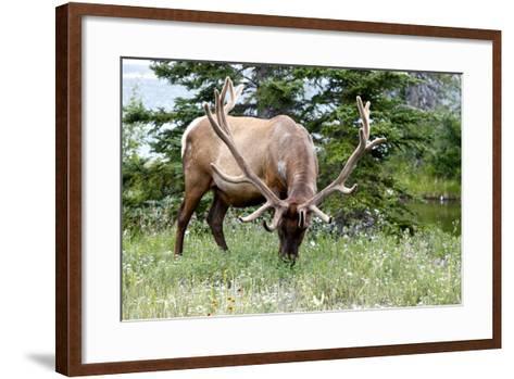 Close Up of an Antlers on a White-Tailed Deer, Odocoileus Virginianus-Jill Schneider-Framed Art Print