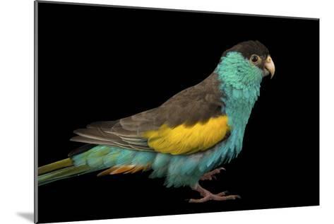 A Hooded Parakeet, Psephotus Dissimilis, at Sylvan Heights Bird Park-Joel Sartore-Mounted Photographic Print