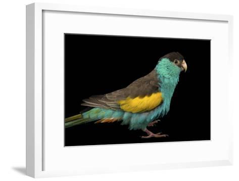 A Hooded Parakeet, Psephotus Dissimilis, at Sylvan Heights Bird Park-Joel Sartore-Framed Art Print