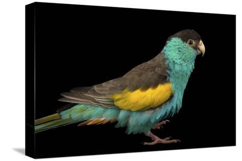 A Hooded Parakeet, Psephotus Dissimilis, at Sylvan Heights Bird Park-Joel Sartore-Stretched Canvas Print