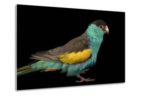 A Hooded Parakeet, Psephotus Dissimilis, at Sylvan Heights Bird Park-Joel Sartore-Metal Print
