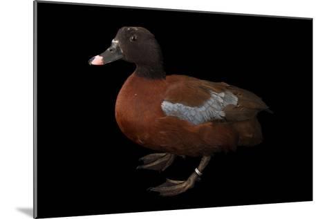 A Hartlaub's Duck, Pteronetta Hartlaubii, at Sylvan Heights Bird Park-Joel Sartore-Mounted Photographic Print