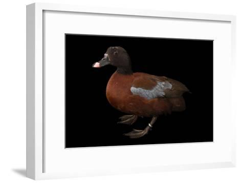 A Hartlaub's Duck, Pteronetta Hartlaubii, at Sylvan Heights Bird Park-Joel Sartore-Framed Art Print