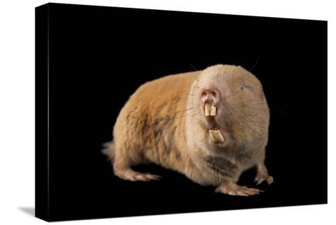 A Giant Mole Rat, Cryptomys Mechowi, at the Houston Zoo-Joel Sartore-Stretched Canvas Print