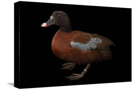 A Hartlaub's Duck, Pteronetta Hartlaubii, at Sylvan Heights Bird Park-Joel Sartore-Stretched Canvas Print