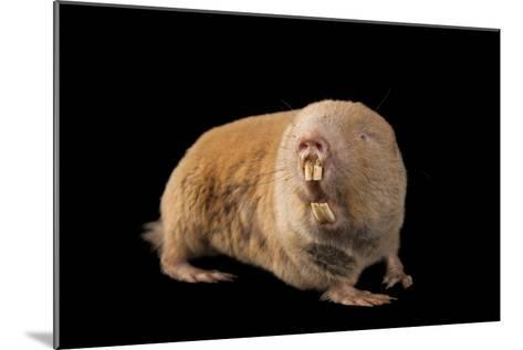 A Giant Mole Rat, Cryptomys Mechowi, at the Houston Zoo-Joel Sartore-Mounted Photographic Print