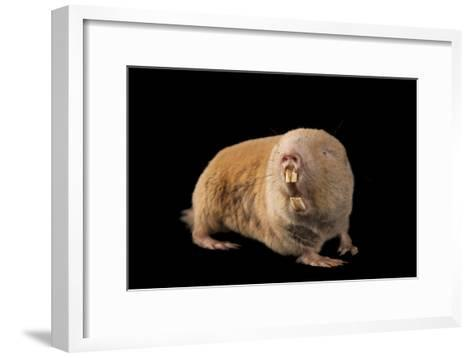 A Giant Mole Rat, Cryptomys Mechowi, at the Houston Zoo-Joel Sartore-Framed Art Print
