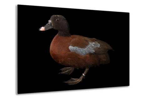 A Hartlaub's Duck, Pteronetta Hartlaubii, at Sylvan Heights Bird Park-Joel Sartore-Metal Print
