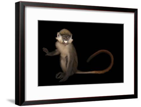 A Schmidt's Red Tailed Guenon, Cercopithecus Ascanius, at the Houston Zoo-Joel Sartore-Framed Art Print