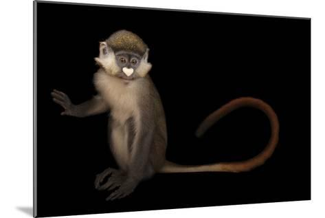 A Schmidt's Red Tailed Guenon, Cercopithecus Ascanius, at the Houston Zoo-Joel Sartore-Mounted Photographic Print