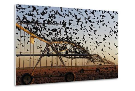Grackles Gather on a Center-Pivot Sprinkler to Feed on a Newly Harvested Cotton Field-Randy Olson-Metal Print