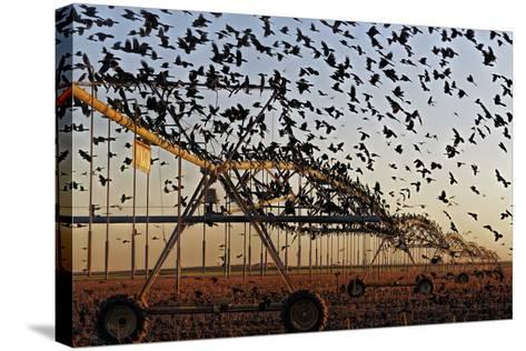 Grackles Gather on a Center-Pivot Sprinkler to Feed on a Newly Harvested Cotton Field-Randy Olson-Stretched Canvas Print