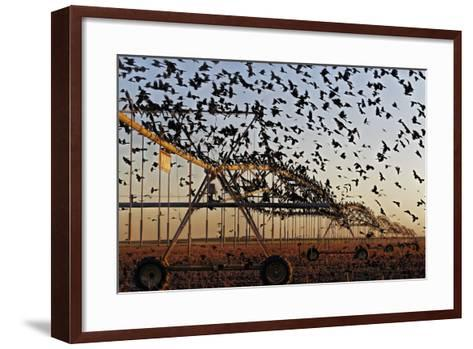 Grackles Gather on a Center-Pivot Sprinkler to Feed on a Newly Harvested Cotton Field-Randy Olson-Framed Art Print