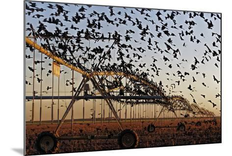 Grackles Gather on a Center-Pivot Sprinkler to Feed on a Newly Harvested Cotton Field-Randy Olson-Mounted Photographic Print