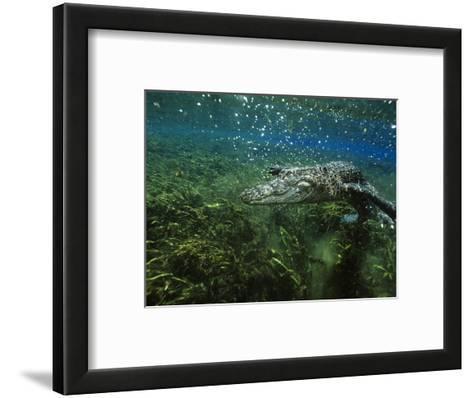 Alligator Mississippiensis-Peter Scoones-Framed Art Print