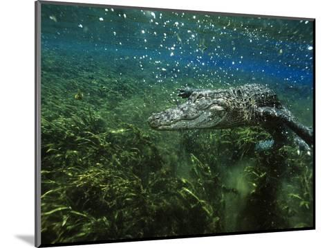 Alligator Mississippiensis-Peter Scoones-Mounted Photographic Print