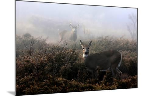 The Rut in on - White-Tailed Deer-Jim Cumming-Mounted Photographic Print