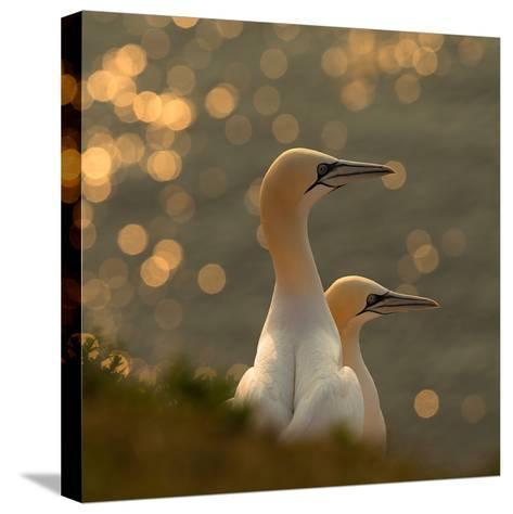 Gannets in Sunset-Karen Kolbeck-Stretched Canvas Print