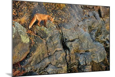 Fox on the Rocks-Yves Adams-Mounted Photographic Print
