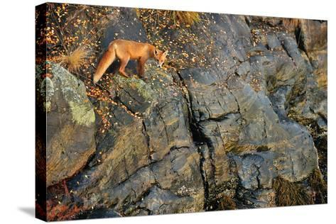 Fox on the Rocks-Yves Adams-Stretched Canvas Print