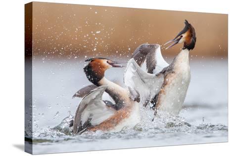 Fighting Grebes-Rien van Zuijlen-Stretched Canvas Print