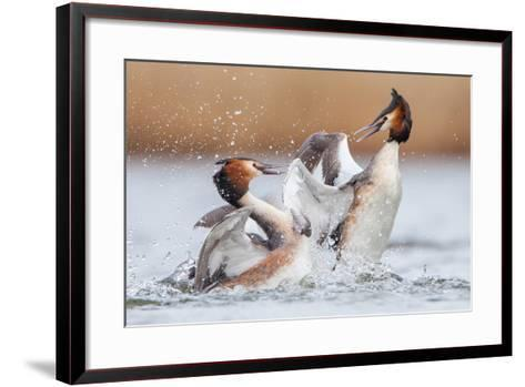 Fighting Grebes-Rien van Zuijlen-Framed Art Print