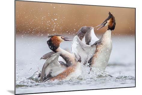 Fighting Grebes-Rien van Zuijlen-Mounted Photographic Print