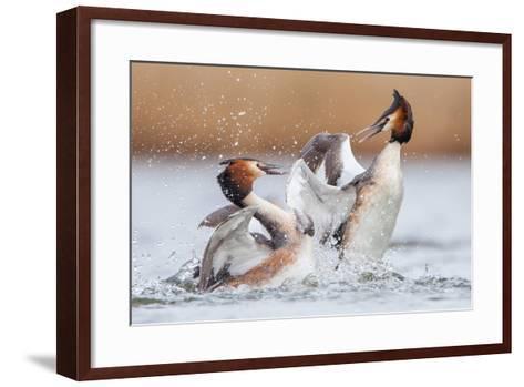 Fighting Grebes-Rien van Zuijlen-Framed Art Print