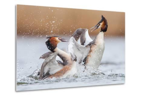 Fighting Grebes-Rien van Zuijlen-Metal Print