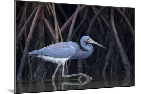 Stalking in the Mangroves-Greg Barsh-Mounted Photographic Print