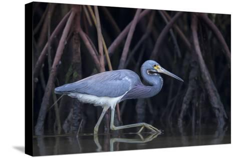 Stalking in the Mangroves-Greg Barsh-Stretched Canvas Print