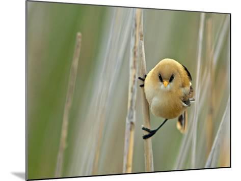 Angrybird II-Henrik Pettersson-Mounted Photographic Print