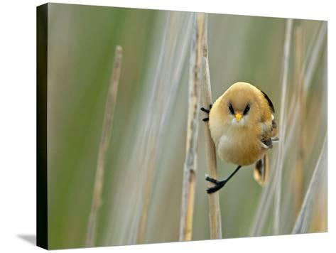 Angrybird II-Henrik Pettersson-Stretched Canvas Print