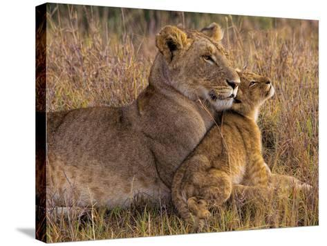 Baby Lion with Mother-Henry Jager-Stretched Canvas Print