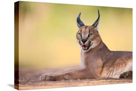 Caracal-Hillebrand Breuker-Stretched Canvas Print