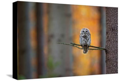 Tawny Owl-Milan Zygmunt-Stretched Canvas Print