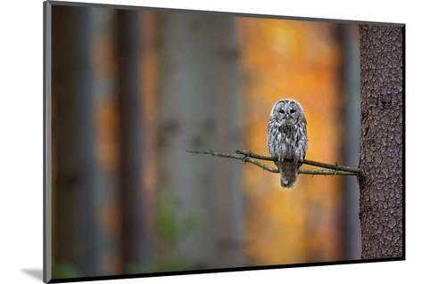 Tawny Owl-Milan Zygmunt-Mounted Photographic Print