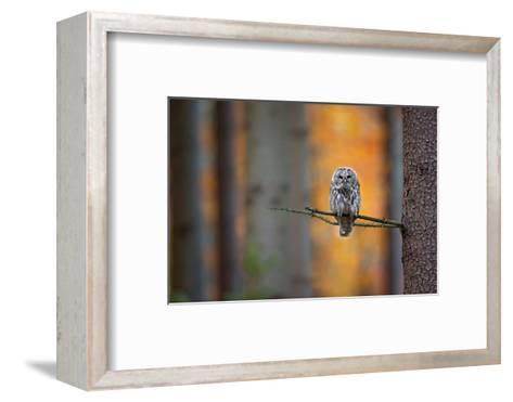 Tawny Owl-Milan Zygmunt-Framed Art Print